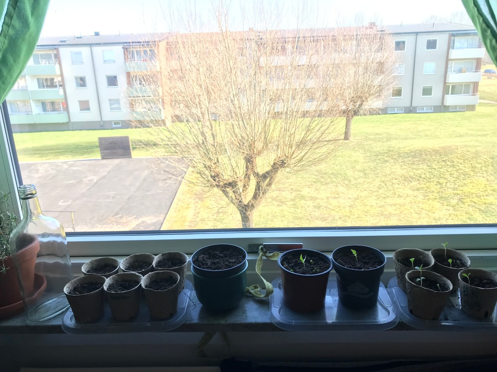 Pots with seed starts on a windowsill in front of a sunny window.